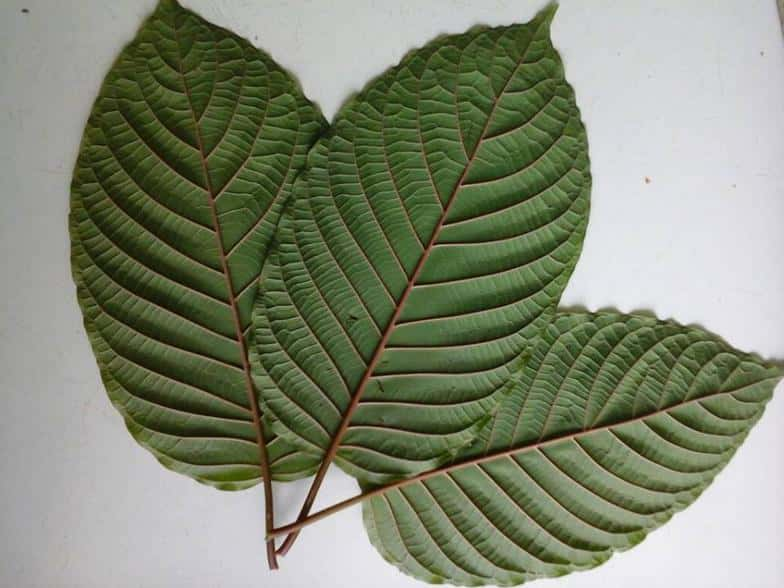 A good shot of a red veined Kratom leaf